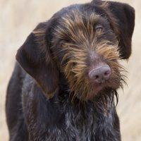 Портрет охотничьего пса