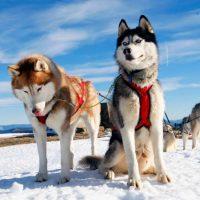 Два пса хаски в упряжке