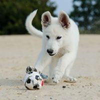 Белый щенок играет мячиком