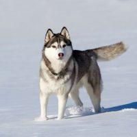 Взрослый хаски гуляет по снегу