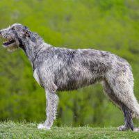 Серый пёс в профиль