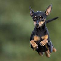 Цвергпинчер в прыжке