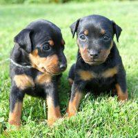 Два щенка на траве