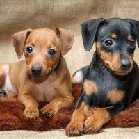 Два щенка цвергпинчера