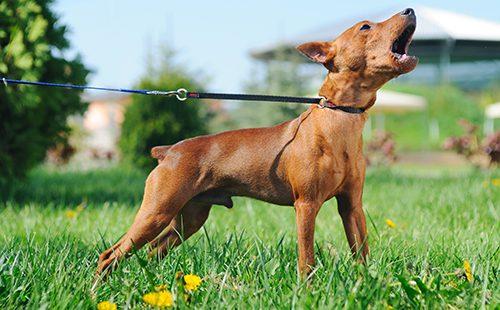 Палево-рыжий пёс тявкает