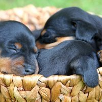 Щеночки спят в корзине