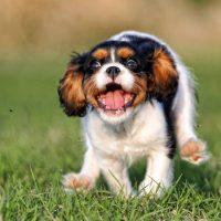 Щенок смешно бежит по траве