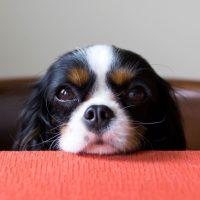 Симпатичный щенок положил голову на стол