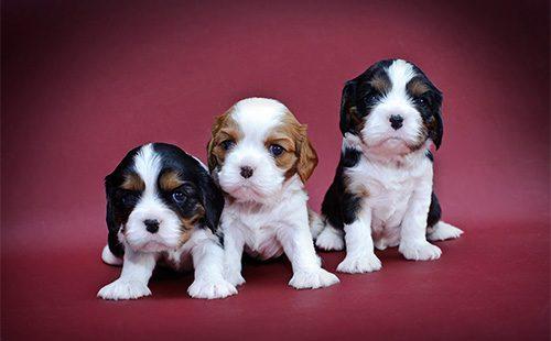 Кавалер кинг Чарльз спаниель - три щенка