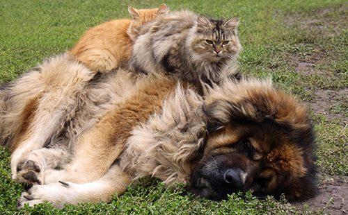 Два кота на спящей овчарке