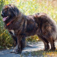 Пёс-медведь на дорожке