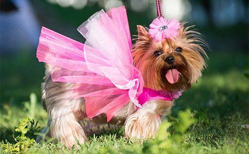 Маленькая собачка в розовом платье