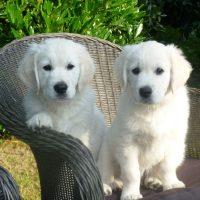 Два щенка лабрадора-ретривера сидят на кресле