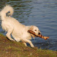 Лабрадор-ретривер достает из воды палку