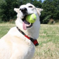 Лабрадор-ретривер с мячиком в зубах