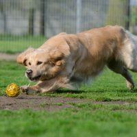 Золотистый ретривер бежит за мячем