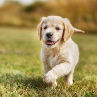 Милый щенок лабрадора-ретривера бежит по траве