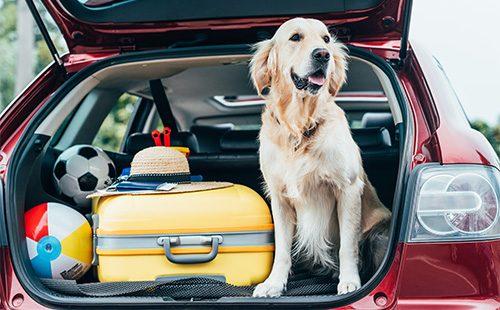Лабрадор-ретривер в багажнике машины