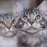 Два серых мейн-куна