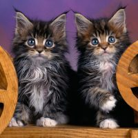 Два пушистых котёнка