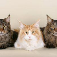 Три строгих кота