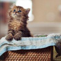 Котёнок вылезает из корзинки