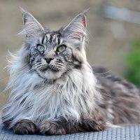Пушистый серый кот