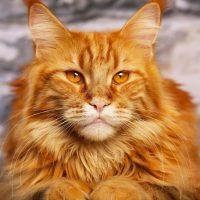 Рыжий золотоглазый кот