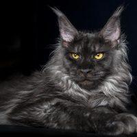 Тёмно-серый кот