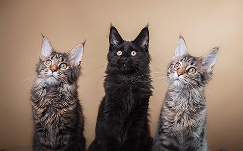 Три котёнка породы мейн-кун