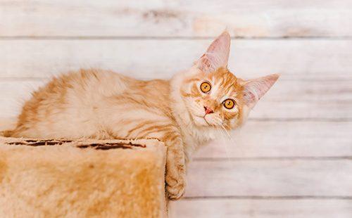 Рыжий котёнок мейн-кун