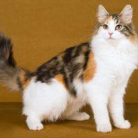 Красивая трёхцветная кошка