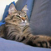 Серый кот на диване