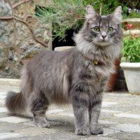 Породистый кот в профиль