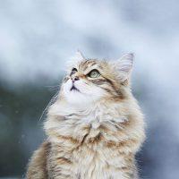 Норвежская лесная кошка любуется снежинками