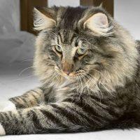 Царственный серый кот