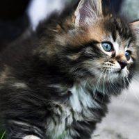 Пушистый норвежский котёнок