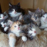 Пушистые лесные котята
