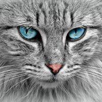 Голубоглазый серый кот