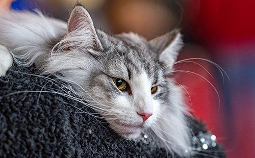 Портрет лежащего кота