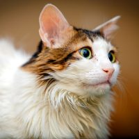Портрет норвежской лесной кошки