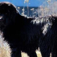 Большой пёс на прогулке