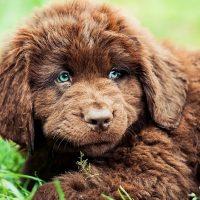 Милый коричневый щенок
