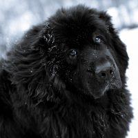 Портрет большого пса