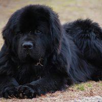 Большой лежащий пёс