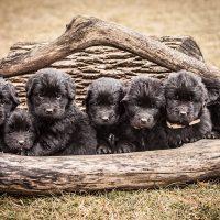 Милые щенята ньюфаундленда