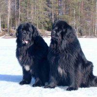 Два ньюфаундленда на снегу