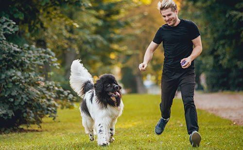 Чёрно-белый ньюфаундленд в парке с хозяином