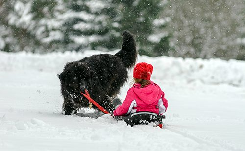 Молодой ньюфаундленд катает ребёнка на саночках