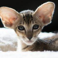 Лопоухий котёнок